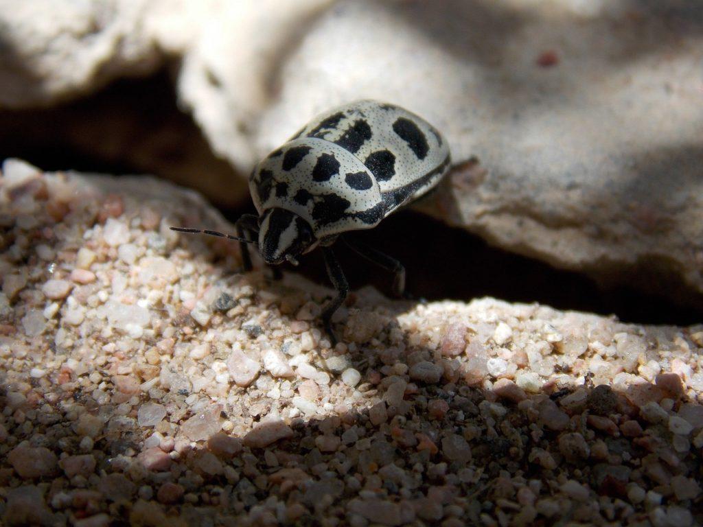 Käfer Schädlingsbekämpfung